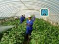 温室蔬菜沼液追肥注意事项