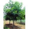 米径2-15公分美国山核桃树