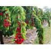 特供 3-8公分 樱桃树、核桃树、 苹果树、桃树、杏树