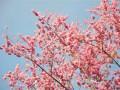 河北定州:樱花价格大幅下跌