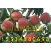 核桃树,桃树,杏树,梨树,枣树,柿子树运城果树苗木