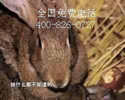 果园树林里饲养放养野兔省工又增收