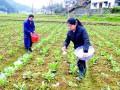 蔬菜生产怎么补锌效果最好!