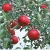 樱桃树、葡萄树、桃树、梨树、苹果树
