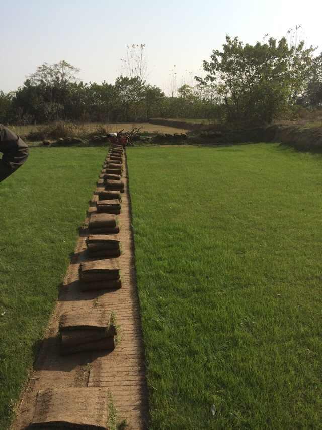 句容景叶草坪基地常年低价销售优质果岭草-绿化草坪卷