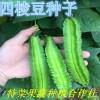 四棱豆种子