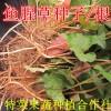 鱼腥草种子
