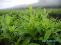 有机茶园的肥培管理