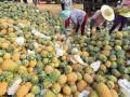 海南万宁菠萝价格回落:从高峰期的每斤2.8元降到每斤1元