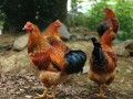 养鸡业七大发展方向
