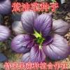 紫油菜种子