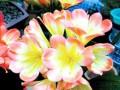宿根花卉的温室栽培(图)