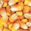 枣阳傲现养殖常年求购玉米小麦油糠次粉棉粕等饲料原料