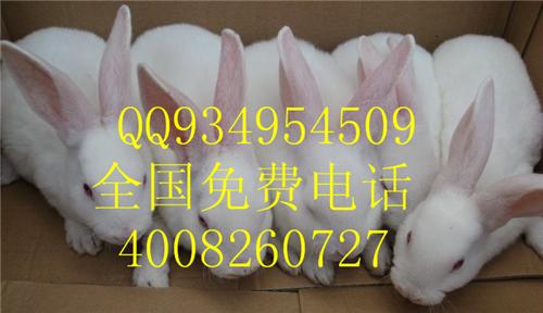 供应懒兔种兔长毛兔养殖场
