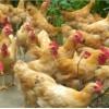 长期供应宁都黄鸡