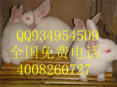 出售獭兔野兔长毛兔种兔