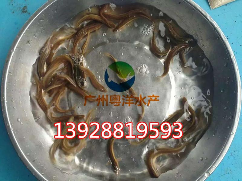 泥鳅鱼苗 台湾纯种泥鳅鱼苗 泥鳅鱼养殖技术提供