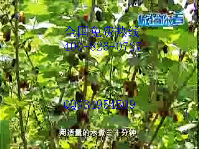 无籽大十大10果桑苗批发价格