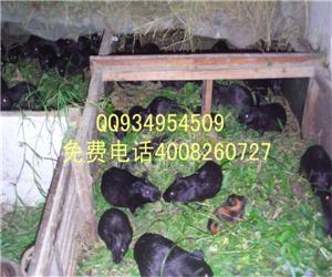 养殖豚鼠野兔吃草食草动物成本低效益高好销售