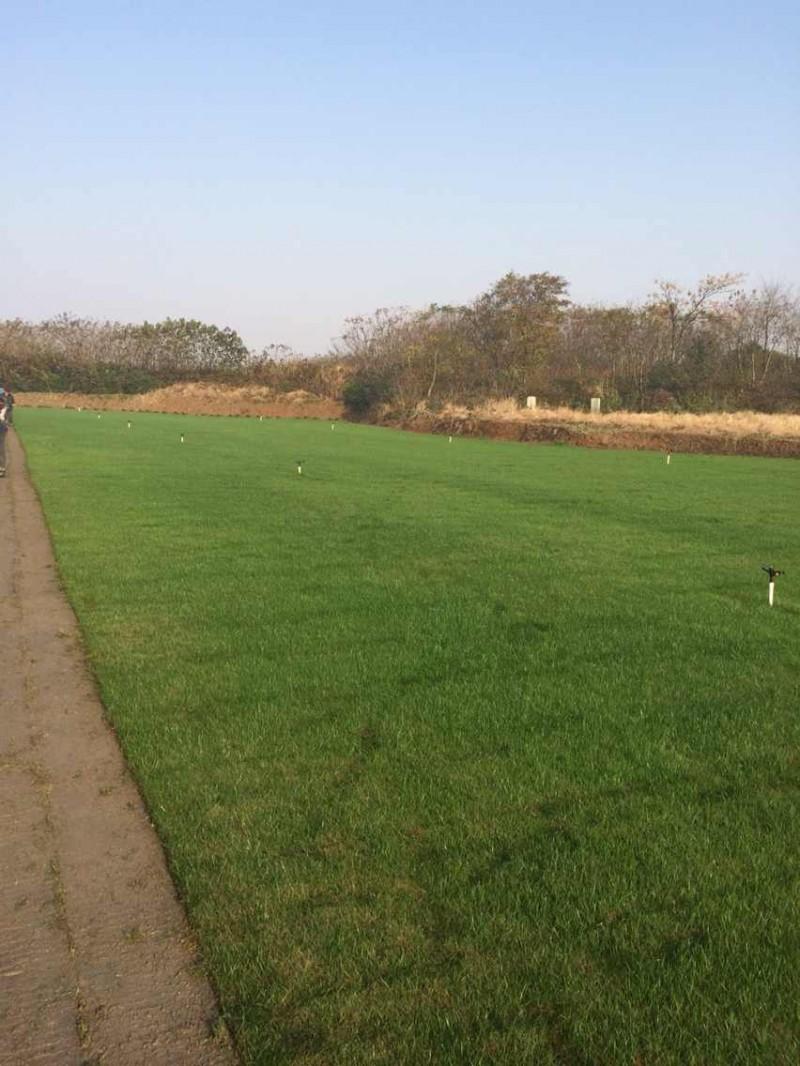 句容景叶草坪基地低价供应优质果岭草-草坪毯
