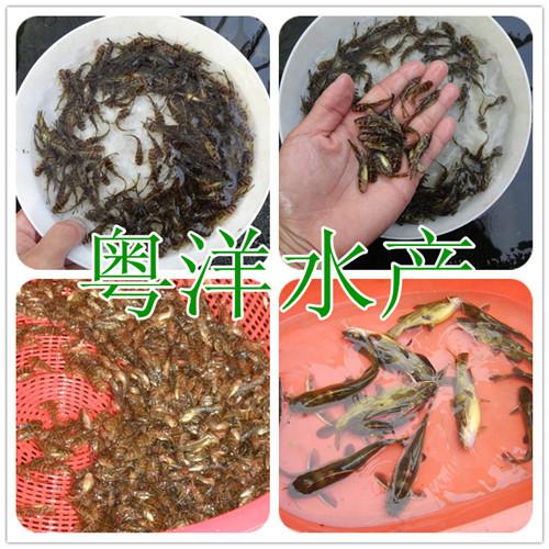 广东专业生产黄颡鱼苗 黄骨鱼苗 单性黄骨鱼苗批发