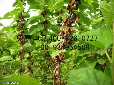 最大种植规模培育果桑苗基地