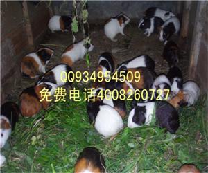 中华黑豚养殖的市场如何