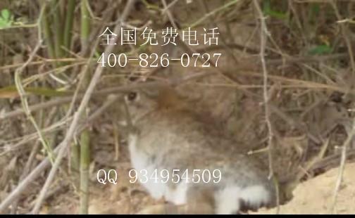 适合放养散养的动物杂交野兔