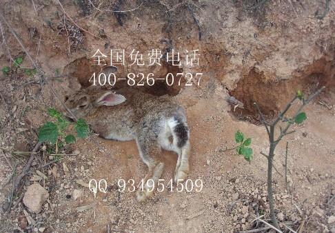 种植牧草养殖杂交野兔子