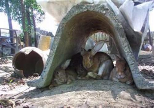养殖高效节粮型草食经济动物杂交野兔