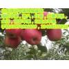 山东红将军苹果基地山东红富士苹果批发山东红富士苹果产地上市