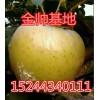 15244340111大量优质黄元帅苹果基地直供