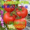 山东西红柿大量上市