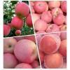 山东苹果大量供应