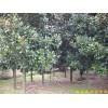 供应南京广玉兰等多种绿化苗木