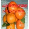 山东柿子批发价格,山东柿子产地山东柿子种植基地