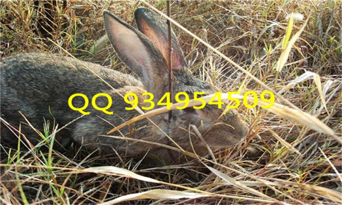 附近商品兔野兔种兔基地在哪里