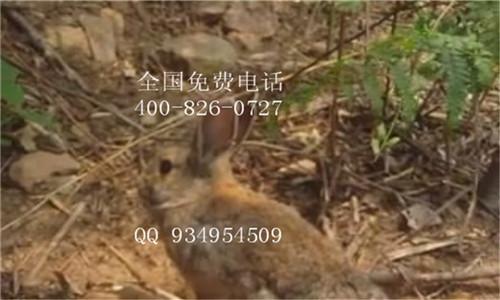 养殖节粮型小家畜食草动物杂交野兔