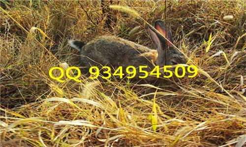 适合农村的养殖项目兔子