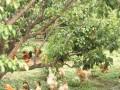 柳州鹿寨:林下养鸡助农增收