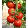 潍坊优质西红柿种苗价格:番茄种苗批发商
