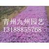 青州九州园艺出售优惠的芝樱_批发芝樱