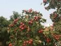 山楂红了,天津水果,水果