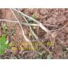 挂果早的核桃品种,产量高的核桃品种,壳壳薄的核桃