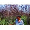 米径3-11公分红叶李