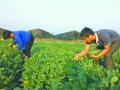 中山市本地蔬菜因气温适合产量和销量增加 价格下降