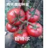 品质杠杠的%{高产番茄种子}{优质番茄种子}{荷兰番茄种子}-商号