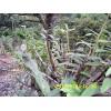 铁皮石斛组培技术供应——丰润莱生物科技出售优质铁皮石斛驯化苗