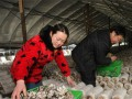 江苏:常州市前黄镇进入食用菌丰收季