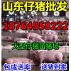 山东仔猪报价 大型猪场批发 三元苗猪产地